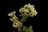 An Oregano Plant  Origanum Vulgare