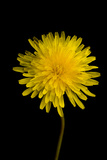 A Common Dandelion  Taraxacum Officinale
