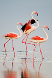 Greater Flamingos (Phoenicopterus Roseus) in a Lake  Ndutu  Ngorongoro Conservation Area  Tanzania
