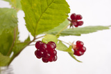 A Close Up of Common Dewberries  Rubus Flagellaris
