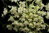 A Wild Carrot Plant  Daucus Carota