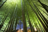 A Bamboo Forest in the Gardens of Kodai-Ji