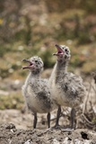 Western Gull Chicks at the Largest Breeding Colony of Western Gulls in the World on Anacapa Island