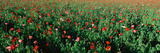 Field of Flowers  Texas