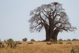Zebras Grazing Near a Large Baobab Tree