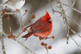 A Male Northern Cardinal  Cardinalis Cardinalis  Perched on a Budding Maple Tree Branch