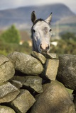A Horse Peers over a Dry Stone Wall