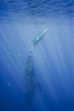 Friendly Mother and Calf Humpback Whale (Megaptera Novaeangliae)