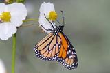 A Monarch Butterfly  Danus Plexippus  Nectaring from a Duck Potato Flower
