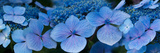 Close-Up of Raindrops on Blue Hydrangea Flowers