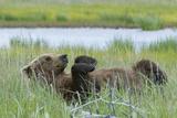 A Grizzly Bear  Ursus Arctos Horribilis  Rolls on its Back