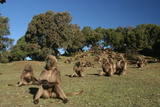 Gelada Baboons  Theropithecus Gelada  on a Hill Side