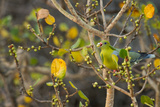 An African Green Pigeon Eating Fruits in a Tree