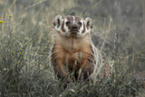 A Badger Looks Up from a Field of Grass and Sagebrush