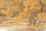 A Pair of Sandhill Cranes Walk under a Fall-Colored Tree on the Side of a Small Lake