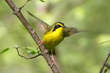 A Flitting Kentucky Warbler  Geothlypis Formosa  Takes Off from a Branch