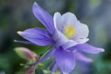 Close Up of a Purple Columbine Flower