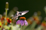 A Female Juvenile Ruby-Throated Hummingbird Drinking Nectar from a Coneflower