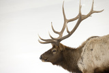 Portrait of a Bull Elk  Cervus  Elaphus  in a Stark Snowscape