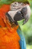 Portrait of a Harlequin Macaw