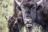 Close Up of Bison Grazing in the Lamar Valley