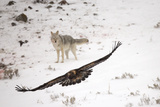 A Golden Eagle  Aquila Chrysaetos  Flies Off with Food from a Coyote'S  Canis Latrans  Fresh Kill