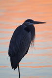 A Great Blue Heron  Ardea Herodias  Stands Still in the Sunlight Painted Early Morning Waters