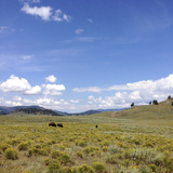 Bison in a Field in the Lamar Valley