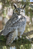 An Alert Great Horned Owl  Bubo Virginianus  Rests on a Tree Branch