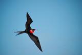 A Magnificent Frigatebird Flies Above North Seymour Island