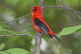 A Male Scarlet Tanager  Piranga Olivacea  Singing from a Tree Branch