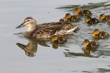 A Mallard Duck Hen  Anas Platyrhynchos  Leading Her Ducklings in the Water