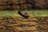 A Brahminy Kite  Heliaster Indus  in Flight Near Porosus Creek in the Kimberley Region