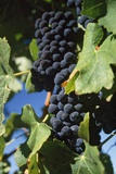 Syrah Grapes  a Dark-Skinned Grape Variety
