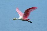 Portrait of a Roseate Spoonbill  Platalea Ajaja  in Flight