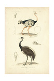 Antique Ostrich Study
