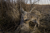 A Camera Trap Catches a Shot of a Bobcat on a Log