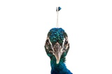 An Indian Blue Peafowl at the Lincoln Children's Zoo