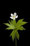 A Canada Anemone Plant  Anemone Canadensis