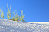Desert Plants on White Dune in Late Afternoon