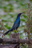 A Boat-Tailed Grackle at the Big Cypress Seminole Indian Reservation