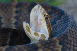 A Florida Cottonmouth Moccasin Snake Warms Itself in the Sun on a Sandy Road