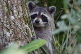 A Raccoon Peeks around a Tree Trunk