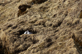 A Couple of Northern Fulmar Birds in their Nest in Southern Iceland