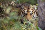 A Year-Old Bengal Tiger  Panthera Tigris Tigris  Hiding in the Brush of Bandhavgarh National Park
