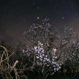 A Blooming Tree at Night with Mars Shining Brightly Red in the Sky