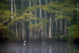 A White Egret in a Pond Lined by Bald Cypress Trees