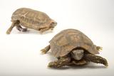 Speke's Hinge-Back Tortoises  Kinixys Spekii  at the National Mississippi River Museum and Aquarium