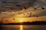 Sandhill Cranes Fly over the Platte River at Sunset
