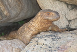 A Rock Monitor  Varanus Albigularis  Rests Among Rocks